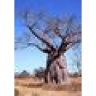 baobaberider